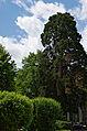 Mammutbaum3.jpg
