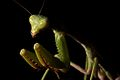 Mantis religiosa profile.jpg