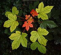 Folhas de bordo vermelho, símbolo do canada