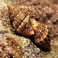 Marine Snail (16219581550).jpg