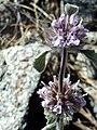 Marrubium supinum FlowersCloseup SierraNevada.jpg