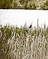 Marsh Birds (3616020220).jpg