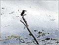 Martin-pêcheur (48755807692).jpg