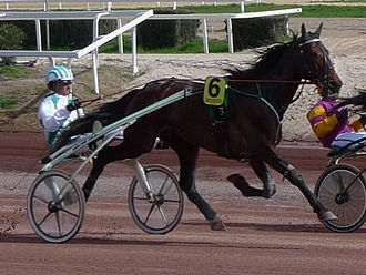 Standardbred - The Standardbred is best known as a harness racing breed.