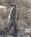 Meerkat (Suricata suricatta) sentinel looking out ... (31754240743).jpg