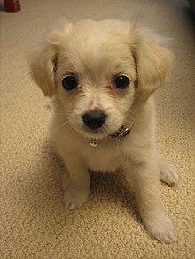 Canis Lupus Familiaris Wikipedia