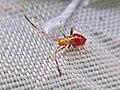 Megacoelum infusum (Miridae) - (nymph), Elst (Gld), the Netherlands.jpg