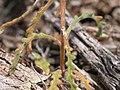 Mentzelia albicaulis (4395557647).jpg
