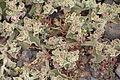 Mesembryanthemum crystallinum or M nodiflorum IMG 5588.JPG