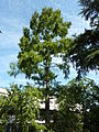 Metasequoia glyptostroboides - Basel.jpg