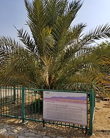 Judean Date Palm Wikipedia