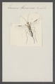 Microdus - Print - Iconographia Zoologica - Special Collections University of Amsterdam - UBAINV0274 046 08 0045.tif