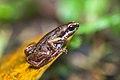 Micryletta inornata, Inornate chorus frog - Khao Luang National Park (29774376932).jpg