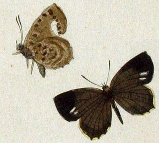 <i>Miletus chinensis</i> species of insect
