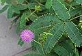 Mimosa pudica IMG 0225.jpg