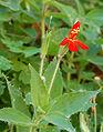 Mimulus cardinalis arizona.jpg