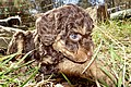 Miniature poodle puppy 6 weeks, outdoors, in sun, on grass, head, eye, tear, flash, close-up. (Nærbilde med blits av dvergpuddel-hvalp i sol på gress. Tåre fra øye.) Tjøme, Norway 2020-04-09 DSC06424.jpg