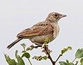 Mirafra (africana) malbranti, Birding Weto Tours, a.jpg