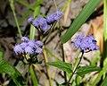 Mist Flower (Conoclinium coelestinum) (38933580111).jpg