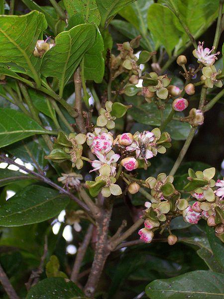 File:Molinaea alternifolia.JPG