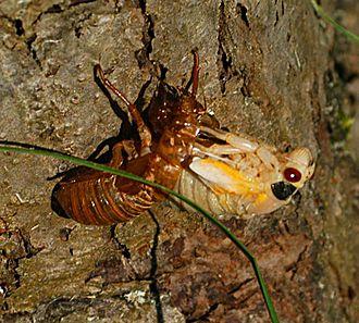 Periodical cicadas - Magicicada molting