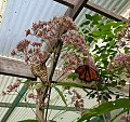 Monarch Butterflies on Joe Pye Weed.jpg