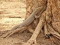 Moniter Lizard.jpg