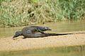 Monitor Lizard (3678637573).jpg