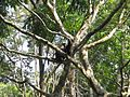 Monkey-on-tree-thiruvanathapuram-zoo.jpg