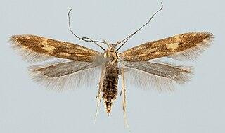 <i>Monochroa lucidella</i> Species of moth