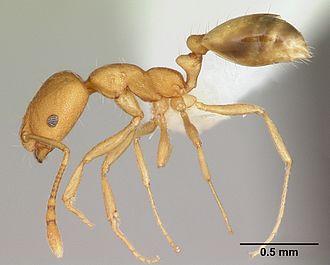 Pharaoh ant - Image: Monomorium pharaonis casent 0173986 profile 1