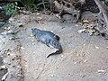 Montréal Biodome Caiman crocodilus.JPG
