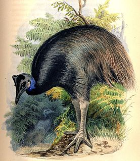 Dwarf cassowary species of bird