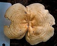 View showing cap surface of an ochre mushroom with darker, concentrical rings
