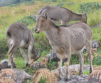 New Amarambalam Reserved Forest - Hemitragus hylocrius, Munnar