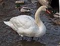 Mute swan in Prospect Park (20420).jpg