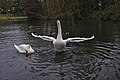 Mute swans (one with spread wings) and ducks in etang Tenreuken, Auderghem, Belgium (DSCF2959).jpg