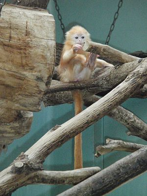 Silvery lutung - Infant silvery lutung, showing orange fur and pale skin