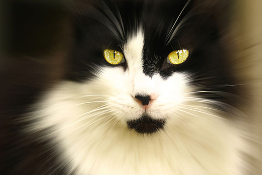 My cat, Malcolm. - Flickr - Andrea Westmoreland