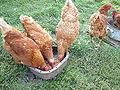 My chicken.JPG