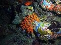 Myriapora truncata4.jpg