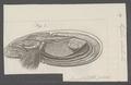 Mytilus edulis - - Print - Iconographia Zoologica - Special Collections University of Amsterdam - UBAINV0274 076 01 0025.tif