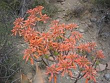 N2 Cactus flowers.jpg