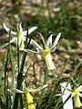 Narcissus Snipe (16991606052).jpg