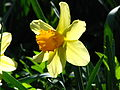Narcissus large-cupped cv. 01.JPG