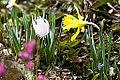 Narcissus minor Blüte 02.jpg