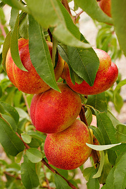 Nectarines summer 2006 edit.jpg