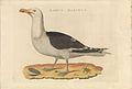 Nederlandsche vogelen (KB) - Larus marinus (440b).jpg