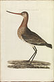 Nederlandsche vogelen (KB) - Limosa limosa (320b).jpg