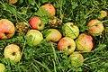 Nedfallsfrukt apples epler Grythengen Toten Norway b.jpg